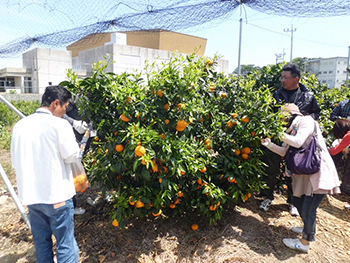 Harvesting Japan's finest kara mandarins - Dating event (Nakajima Island)