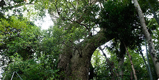 Photo of Husband and wife camphor trees