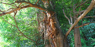 Photo of Sacred tree of Kaya